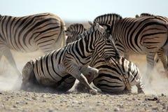 Zebra stallions fighting Stock Photography