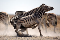 Zebra stallions fighting Royalty Free Stock Image
