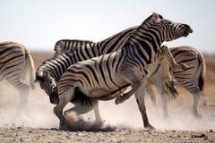 Zebra stallions fighting Royalty Free Stock Image