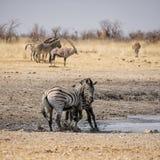Zebra Stallions Fighting Royalty Free Stock Images
