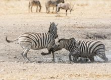 Zebra Stallions Fighting Stock Images