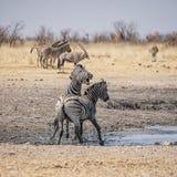 Zebra Stallions Fighting Stock Image