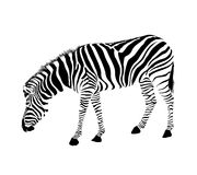 Zebra stance and bend down. Savannah Animal ornament. Wild animal texture. Striped black and white., isolated on white background Stock Image