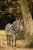 Zebra stand in zoo Royalty Free Stock Image