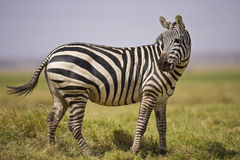 Zebra standing Stock Photography