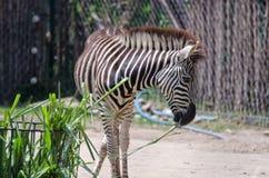 Zebra Standing Stock Photography