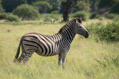 Zebra. A zebra standing in the African Savannah Royalty Free Stock Photo