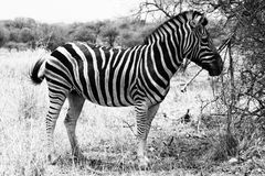 Zebra Standing Black and White Picture Stock Photos