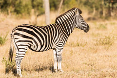 Zebra standing in brush. A zebra standing stoicly in the south africa bush stock photography