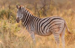 Zebra standing in the bush. A Zebra standing in the bush Royalty Free Stock Photography