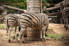 Zebra standing on the cage. Royalty Free Stock Image