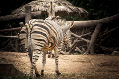 Zebra standing on the cage. Stock Photography