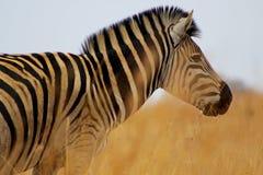 Zebra face pattern Stock Photo