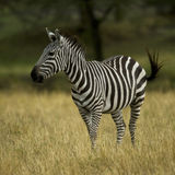 Zebra standing in field in the Serengeti Stock Image