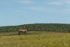 Zebra standing in the field royalty free stock photos