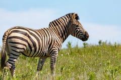 Zebra standing in the long grass stock photos
