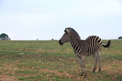 Zebra standing and looking into ahead Stock Image