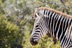 Zebra standing musing in the field. Close up of a Zebra standing musing in the field royalty free stock image