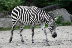 Zebra. Stock Image