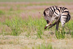 Zebra standing in nature Stock Photography