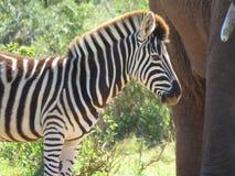 A zebra standing next to an elephant. A zebra standing next to an elephant, but with the focus being on the zebra Stock Photo