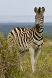 Zebra standing next to a thorn bush Stock Image