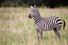 Zebra is standing in the savannah of Kenya Royalty Free Stock Images