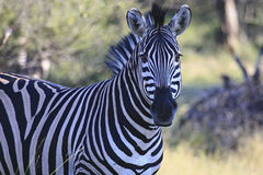 Zebra. A zebra standing in the shade on a hot day in African Bushveld Royalty Free Stock Photo