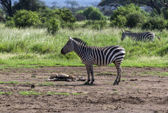 Zebra standing at the sick zebras on the ground Royalty Free Stock Photo
