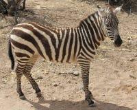 Zebra standing. Side shot of a standing Zebra Royalty Free Stock Photography