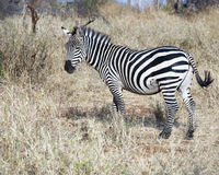 Zebra standing sideview Stock Photo