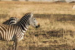 Zebra standing sideways and looking ahead at empty space Stock Images