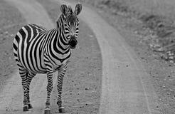 An  Zebra standing Stock Photos