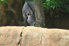 Zebra. Standing beside a tree, Appears to be eating Royalty Free Stock Photography