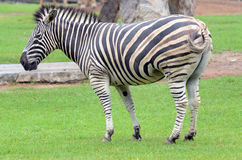 Zebra standing in a zoo Royalty Free Stock Images
