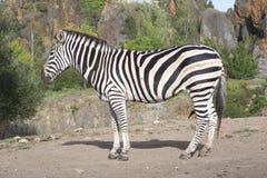 A zebra stands alone in a field Stock Photo
