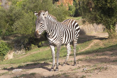 A zebra stands alone in a field Stock Photos