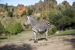 A zebra stands alone in a field Royalty Free Stock Photography