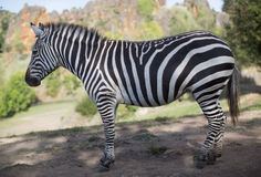 A zebra stands alone in a field Stock Photography