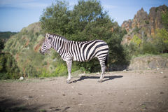 A zebra stands alone in a field Stock Photo