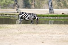 Zebra stands alone near the pond, eating the grass. Stock Photos
