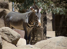 Zebra Stands behind Rocks. A zebra stands behind rocks that are in the foreground Stock Images