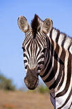 Zebra Stare Royalty Free Stock Photography