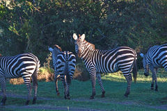 Zebra stare. Zebra grazing the South African plains Royalty Free Stock Photos