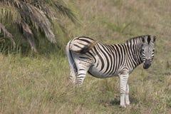 Zebra Staring. Zebra standing staring in the grasslands Royalty Free Stock Photos