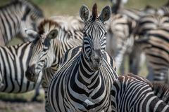 Zebra starring at the camera in Chobe. Stock Photos