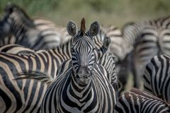 Zebra starring at the camera in Chobe. Royalty Free Stock Photography