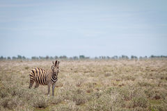 Zebra starring at the camera. Royalty Free Stock Photography