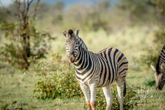 Zebra starring at the camera in Etosha. Royalty Free Stock Images