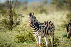 Zebra starring at the camera in Etosha. Royalty Free Stock Photography